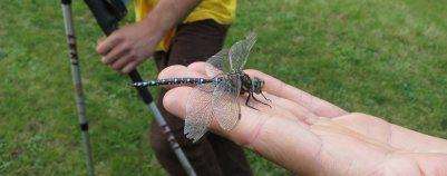 Zutrauliche Libelle