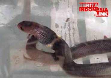 Tawon Vespa dan Ular Kobra teror Warga di Klaten