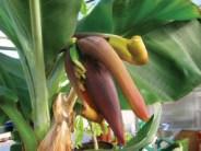 iceland banana production 2