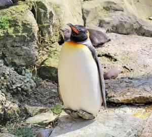 Cotswolds - Birdland Penguin
