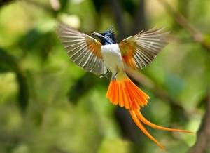 paradise bird I
