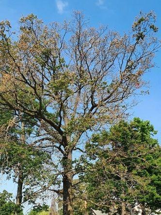 Vergrößerung: 200 Jahre alte Eiche mit massiven Todesspuren