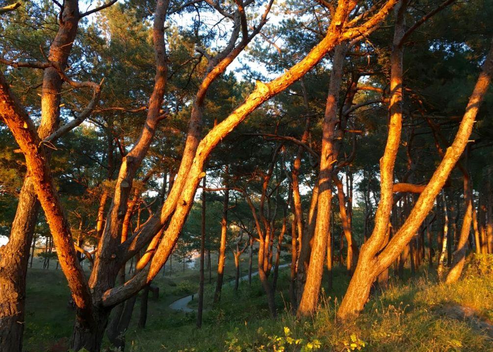 Dünenwald in Dreifachen kurz vor Sonnenuntergang