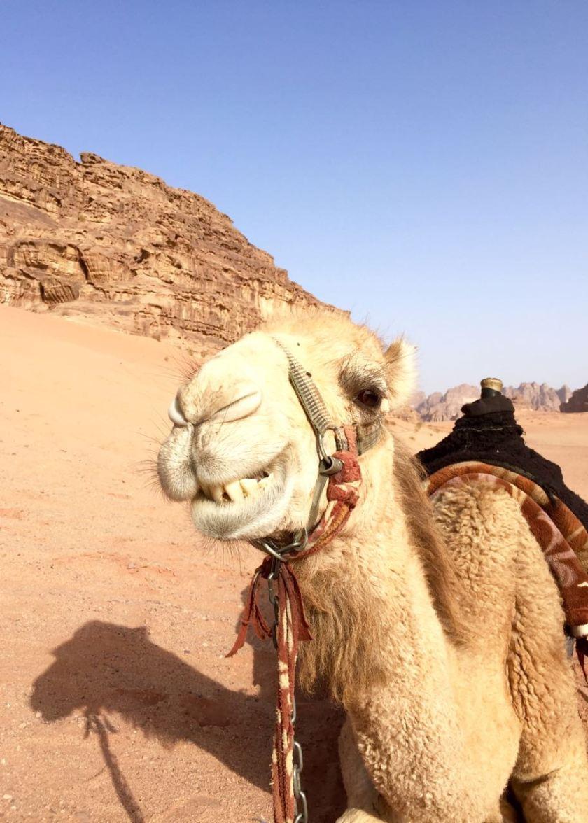Kamel im Wadi Rum. Jordanien: Highlights und Impressionen von einer Rundreise mit Schulkind. Mehr dazu auf www.berlinfreckles.de
