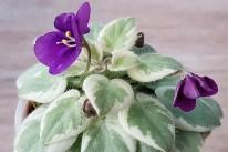 Lina's Purple Penny ist eine tschechische Sorte, die bislang noch sehr selten zu bekommen ist. Es ist eine Chimäre mit kräftigen lilafarbenen Blüten und kräftig weißpanaschierten Blättern