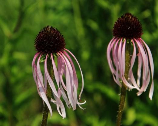 Echinacea pallida, Sonnenhut