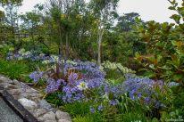 Die Schmucklilie Agapanthus wächst in Neuseeland überall in blau und weiß - in Gärten und am Wegesrand