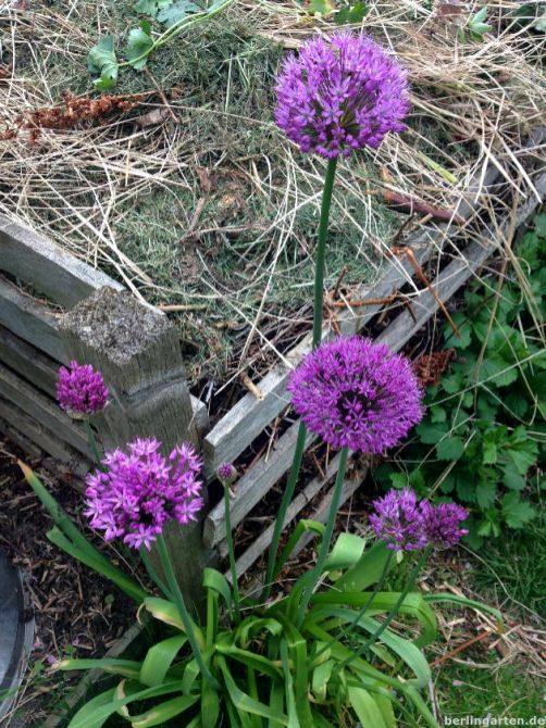 Allium am Kompost