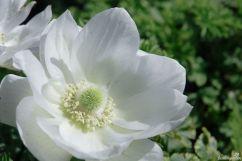 Die Kronenanemone coronaria in strahlendem Weiß. Es gibt sie auch in kräftigen Tönen. Sie ist nicht winterhart