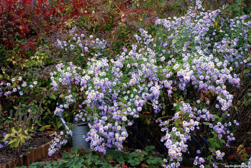 Glattblattaster violett