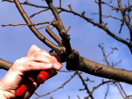 Baumschnitt der Apfelbäume