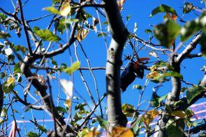 Das Auslichten der Baumkrone ist für Zweige bis 32 mm Durchmesser möglich