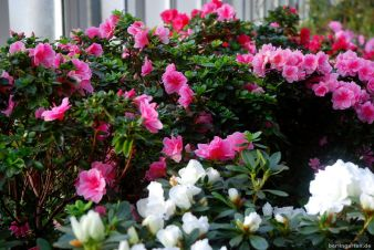 Rhododendren in Hülle und Fülle
