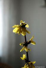 Barbara-Blüte