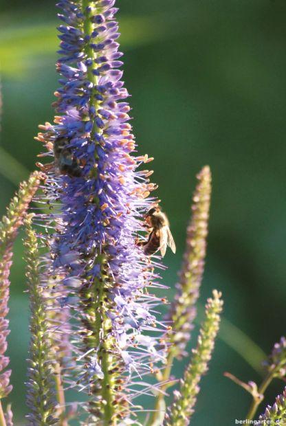 Bei mir und Bienen beliebt - Veronicastrum