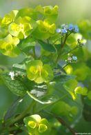 Gelbgrün und blau - Euphorbia und Brunnera