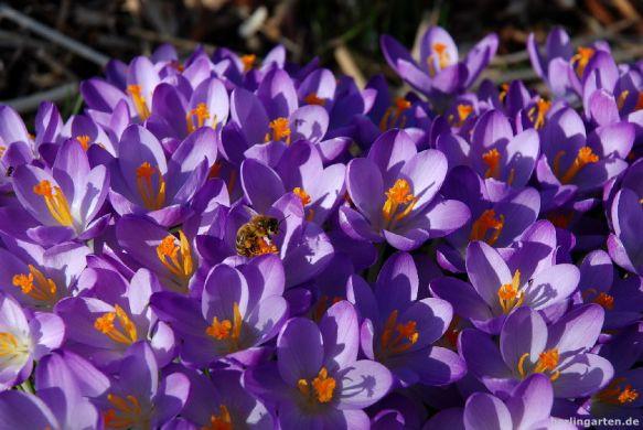 Biene in Crocus thomassinianus