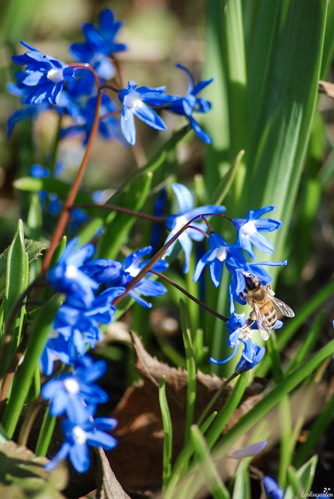Biene labt sich am Zweiblättrigen Blaustern