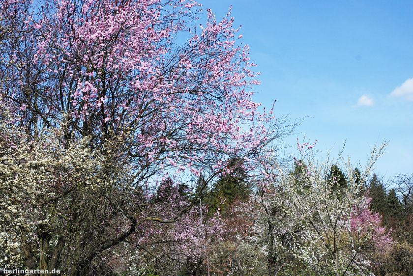 Blühnende Bäume