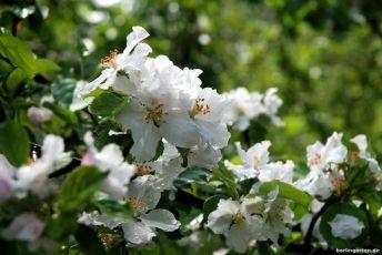 Blüte der Wildäpfel