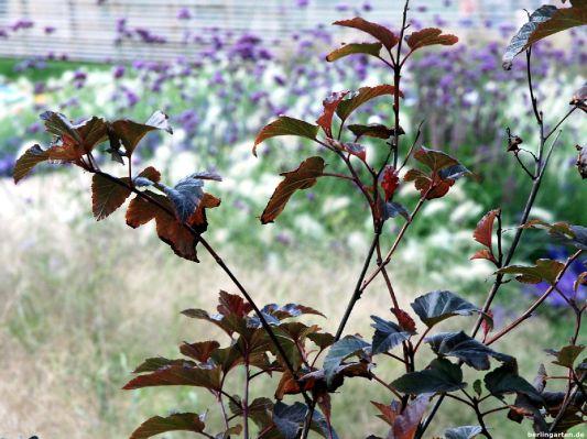 Blasenspiere Physocarpus opulifolius 'Diable d'Or' ist ein Gehölz, das gut 1,5 m hoch wird und gut in gemiswchte Beete passt
