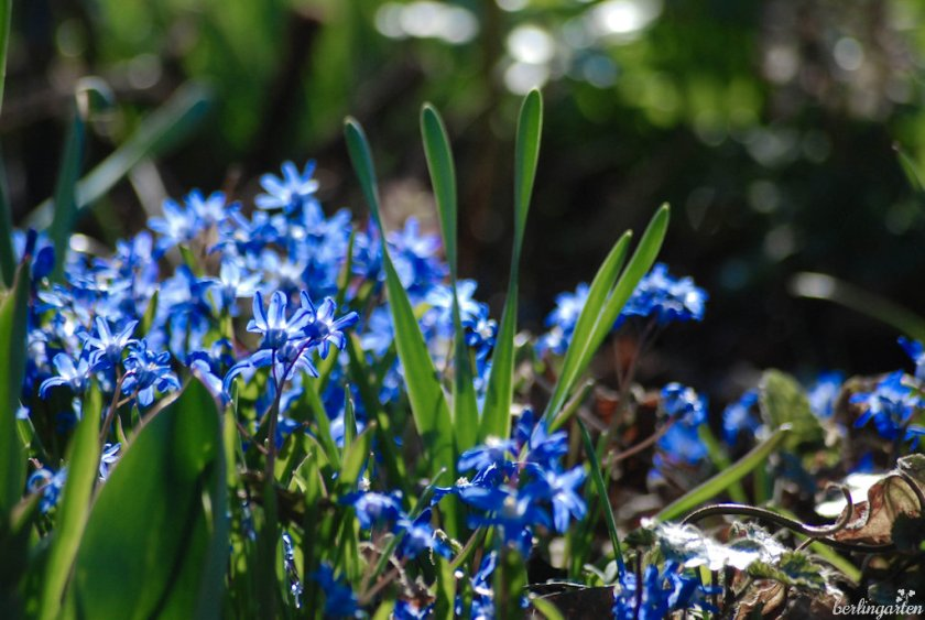 Zweiblättriger Blaustern Scilla bifolia