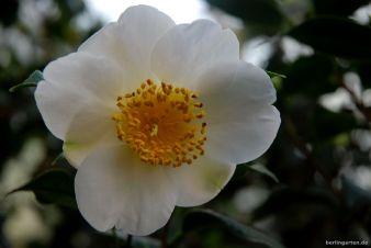 Edles Geschöpf: Camellia Kyo Nishiki
