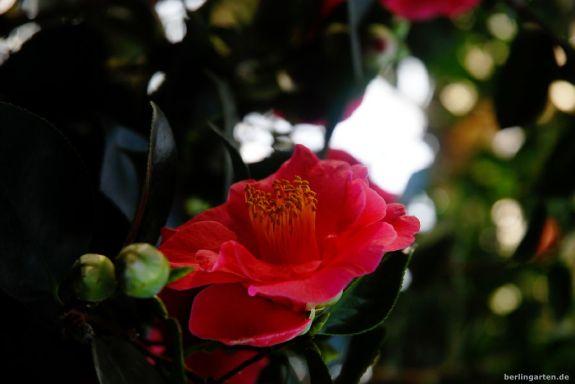 Camellia vernalis Sayohime