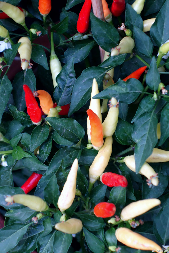 Chili 'Basket of Fire'