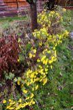 Chrysanthemenreihe