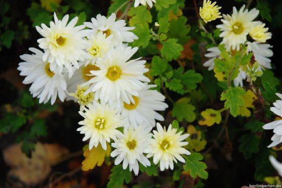 Chrysanthemum indicum Weißer Riese