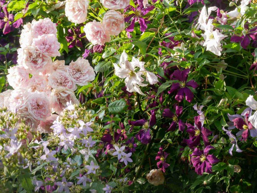 Rose 'Sweet Laguna' mit Clematis 'Etoile Violette' und 'Entel'