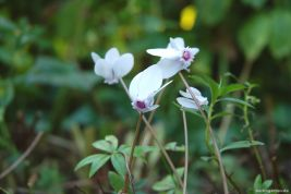 Wie eine kleine Elfe: Cyclamen hederifolium in weiß. Ein Traum im Herbstgarten