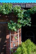 Wein an der Garage: aufgewertet mit einer Leiter, an der Steinbrechgewächse baumeln