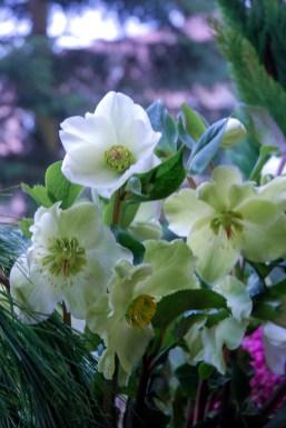 Helleborus 'Ice Roses White'