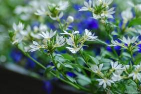 Sehr toll entwickelt hat sich die weiße Fächerblume, die im April noch gar nicht geblüht hat