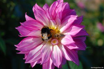 Dahlie mit Hummel und Biene