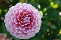 Pompondahlie rosa