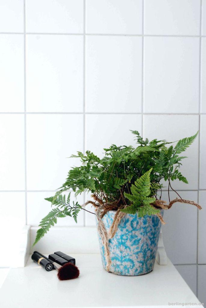Der Hasenfußfarn Davallia bulata ist ein Hingucker im Bad