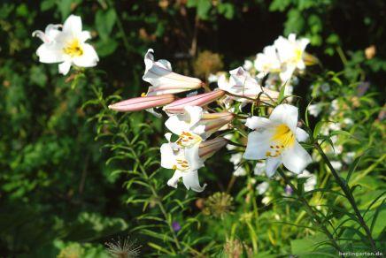 Die Königslilie ist der Star im Beet
