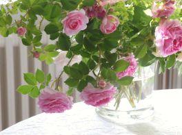 Die Rosen Königin von Dänemark, Paul Noel und New Dawn vereint