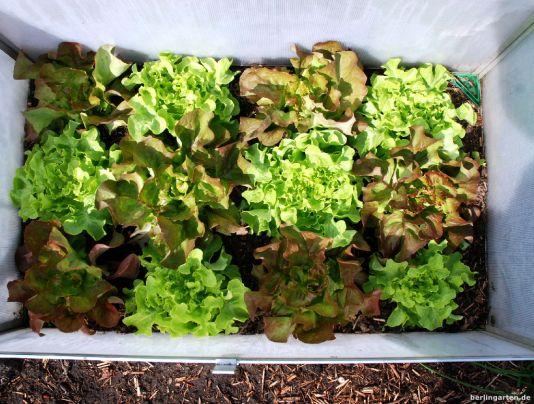 Die Salate sind fertig - danke Frühbeetkasten