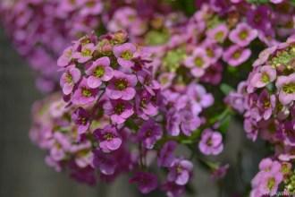 Duftsteinrich gibt es auch in rosa und violett