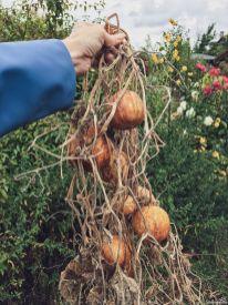 Die Ernte der Zitronengurke fiel üppig aus - wir haben von Juli bis September geerntet