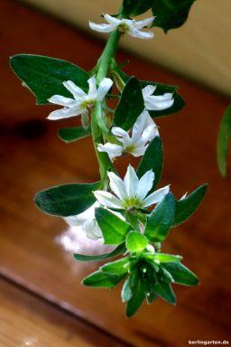 Fächerblume weiß