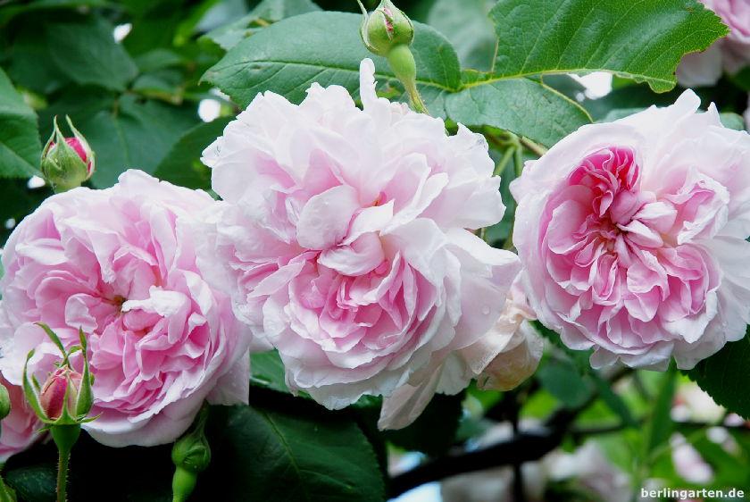 Rose Zentifolie Fantin Latour