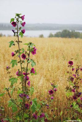 Felder Seen Malven