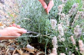 Frühsommerschnitt Lavendel