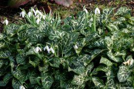 Geaderter Aronstab Arum italicum 'Pictum (Marmoratum)' Schneeglöckchen Galanthus nivalis