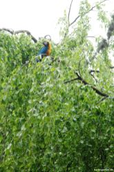 Gelbbrustara im Baum